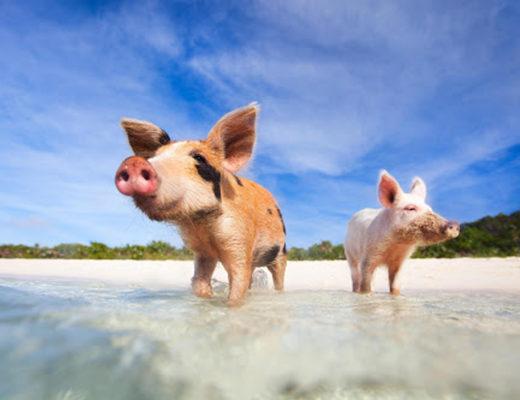 Maialini alle Bahamas