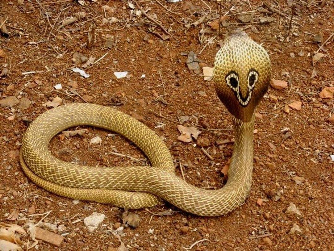 Cobra asiatico